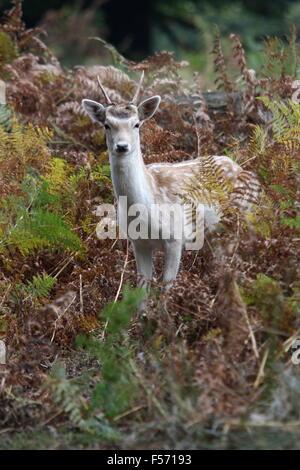 Young Fallow Deer(Dama dama) buck within bracken at Knole Park, Kent - Stock Photo