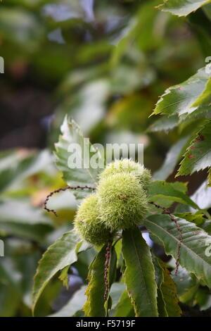 Sweet Chestnut (Castanea sativa) fruits - Stock Photo