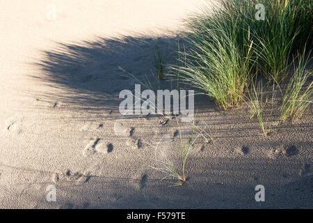 Ammophila arenaria. Marram Grass growing in sand dunes on the beach. Scremerston, Berwick Upon Tweed, Northumberland, England.