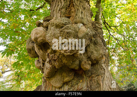 Gnarled deformity on the trunk of a Sweet Chestnut tree [Castanea sativa]. Sussex, UK. October - Stock Photo