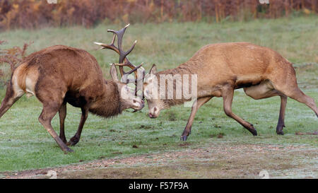 Pair of Red Deer stags (Cervus elaphus) fighting, dueling or sparring on a crisp morning. - Stock Photo