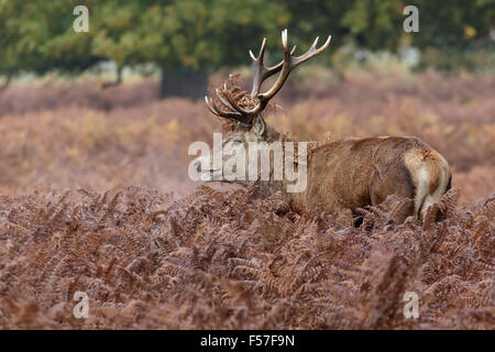 Red Deer rut stag (Cervus elaphus) among the bracken in autumn. - Stock Photo