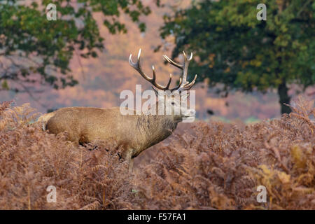 Red Deer stag among the bracken in autumn. - Stock Photo