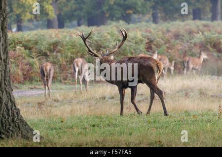 Red Deer rut stag (Cervus elaphus) rounding herding up his hareem of hinds or females. - Stock Photo