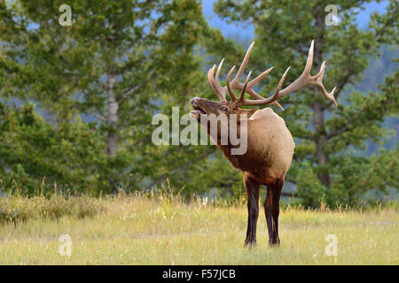 A horizontal image of a large bull elk Cervus elaphus; calling to attract a female - Stock Photo