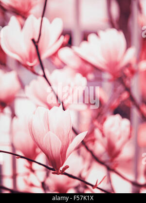 Magnolia blossoms background. Shallow depth of field. - Stock Photo
