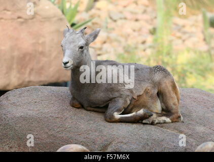 Female North American Bighorn sheep (Ovis canadensis) resting on a rock in the desert - Stock Photo