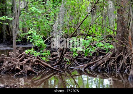 Cypress knees roots in a Louisiana Bayou marshy swamp. - Stock Photo