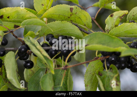 Common Buckthorn, European Buckthorn, fruit, Echter Kreuzdorn, Purgier-Kreuzdorn, Frucht, Früchte, Rhamnus cathartica - Stock Photo