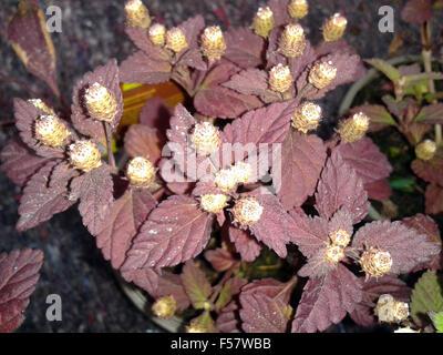 Aztekisches Suesskraut; Lippia dulcis - Stock Photo