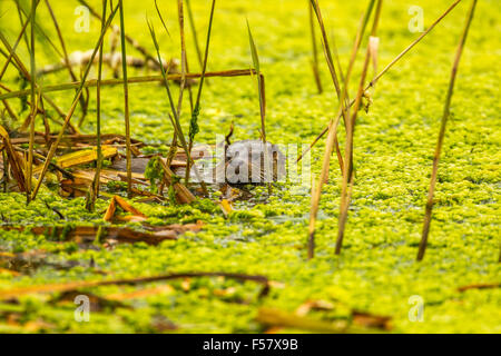 otter in a small pond - Stock Photo