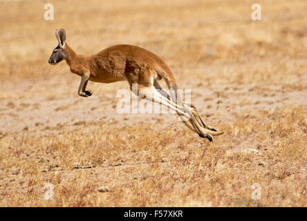 Male red kangaroo, Macropus rufus, in mid-air, with legs extended, bounding across arid Australian outback landscape - Stock Photo