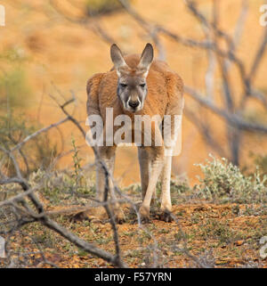 Close-up of male red kangaroo, Macropus rufus, in crouching pose beside low vegetation in red soil of outback Australia - Stock Photo