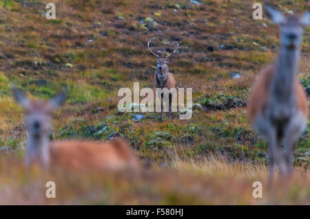 A Red Deer Stag, Cervus elaphus scoticus, in the distance behind two hinds in Glen Cassley, Sutherland, Scotland - Stock Photo