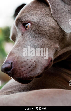 extreme closeup portrait of Weimaraner dog head in profile looking back behind. Graphic strong brow muzzle jaw line - Stock Photo