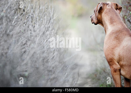 Looking over shoulder of Rhodesian Ridgeback dog in nature looking down narrow dirt trail lined with barren shrubs - Stock Photo