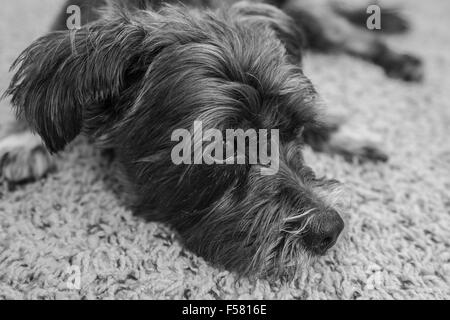 Black and white photo of Milo pet dog. - Stock Photo