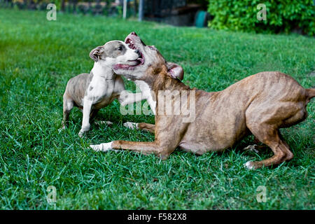 Senior dog teaches puppy art of restraint as they aggressively play in backyard grass capturing one of a kind courageous - Stock Photo