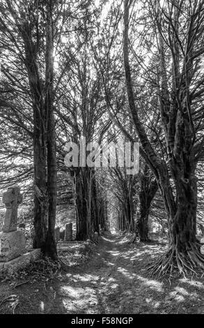 Yew tree avenue in St Gluvias churchyard in Penryn, Cornwall, UK - Stock Photo