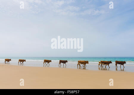 Group of cows walking along the beach. Bolonia, Tarifa, Costa de la Luz, Andalusia, Southern Spain. - Stock Photo