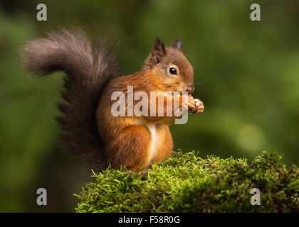 Red Squirrel on Moss - Stock Photo