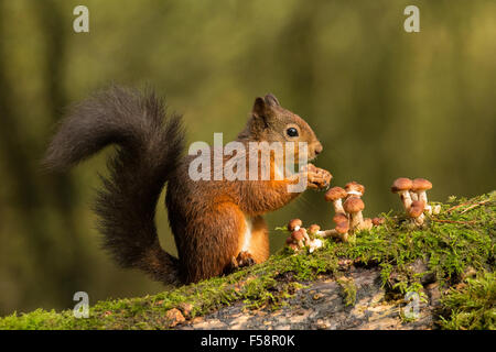 Red Squirrel and Toadstools - Stock Photo