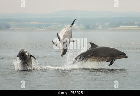 Three dolphins breaching simultaneously in the Moray Firth, Scotland. - Stock Photo