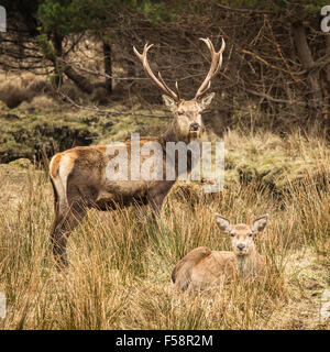 Red Deer and Hind in Scotland - Stock Photo