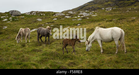Eriskay ponies including a young foal on Eriskay, Outer Hebrides, Scotland - Stock Photo