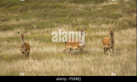Three red deer hinds in long grass on the Outer Hebrides, Scotland - Stock Photo
