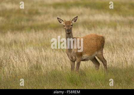 a red deer hind stands alert in the grass on the Outer Hebrides, Scotland - Stock Photo