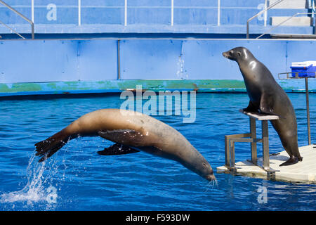 Sea lions in Captivity Preforming for the crowd in Barcelona Spain - Stock Photo