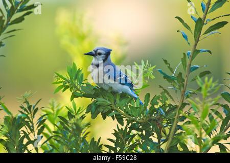 Blue Jay (Cyanocitta cristata),  with deformed beak, Green Cay Nature Area, Delray Beach Florida - Stock Photo
