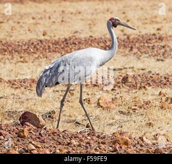 Brolga, Australian crane, Grus rubicunda, large elegant grey bird at Bladensburg National Park near Winton in outback - Stock Photo