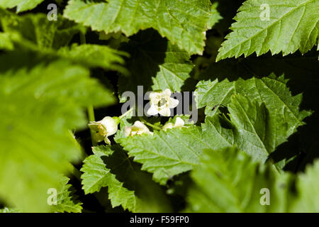 blooming black currant - Stock Photo
