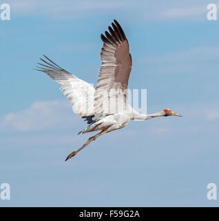 Brolga, Australian crane, Grus rubicunda, large elegant grey bird in flight against blue sky in outback Queensland - Stock Photo