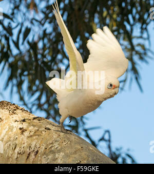 Little corella Cacatua sanguinea, white cockatoo taking to the air from log with wings spread out against blue sky, - Stock Photo