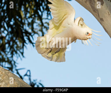 Little corella, Cacatua sanguinea, white cockatoo in flight with yellow feathers under wings, against blue sky in - Stock Photo