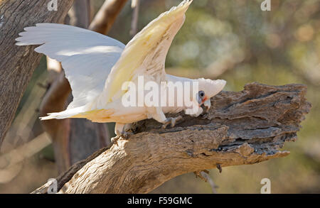 Little corella, Cacatua sanguinea, white cockatoo with wings spread out digging grub from bark of tree in outback - Stock Photo