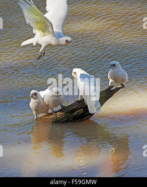 Group of little corellas, Cacatua sanguinea, white cockatoos flying above & standing on log in water of creek in - Stock Photo