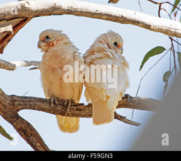 Pair of little corellas, Cacatua sanguinea, white cockatoos roosting on tree branch against blue sky in outback - Stock Photo