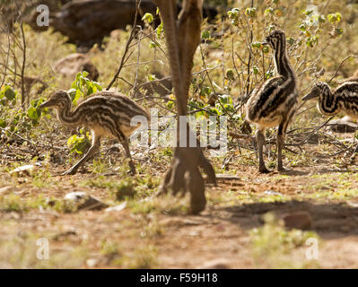 Three tiny emu chicks with striped down beside and dwarfed by large foot & part of leg of parent bird in the wild - Stock Photo