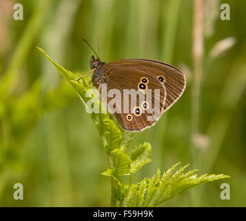 Ringlet butterfly Aphantopus hyperantus in the English countryside at Delamere Forest Cheshire England UK - Stock Photo