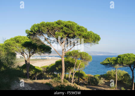 Stone pine forest (Pinus pinea). La Breña y Marismas del Barbate Natural Park with Atlantic ocean view and Barbate - Stock Photo