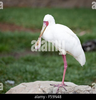 African Spoonbill (Platalea alba) - Stock Photo