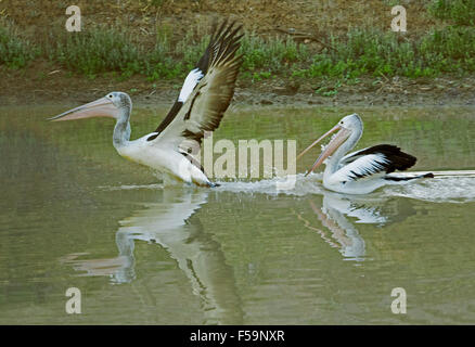 Pelican, with wings extended, reflected in calm water of Cooper Creek in outback Australia & being chased by second - Stock Photo