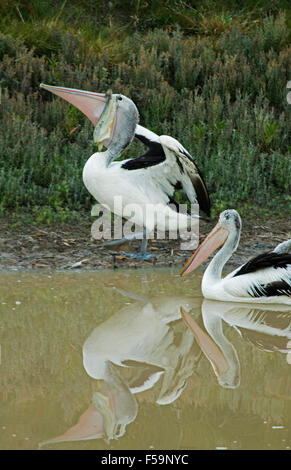Pelican with large fish hanging from bill on bank & reflected in calm water of Cooper Creek near Innamincka in outback - Stock Photo