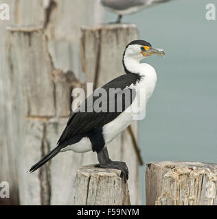 Pied cormorant, Phalacrocorax varius, with immaculate black & white plumage, perched on weathered wooden jetty post - Stock Photo