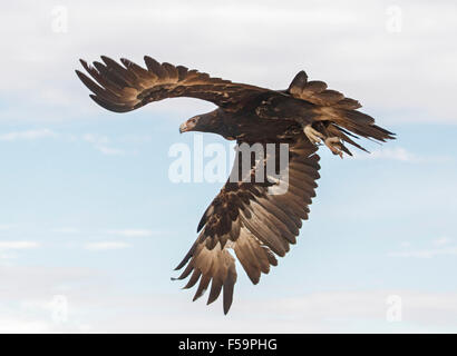 Stunning view of majestic wedge-tailed eagle, Aquila audax, in flight, huge wings extended against blue sky in outback - Stock Photo