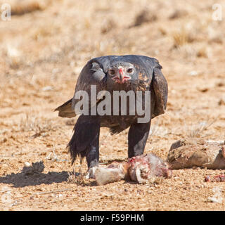 Majestic wedge-tailed eagle, Aquila audax, feeding on remains of carcass of kangaroo & staring at camera in outback - Stock Photo